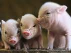 Picture of pigs